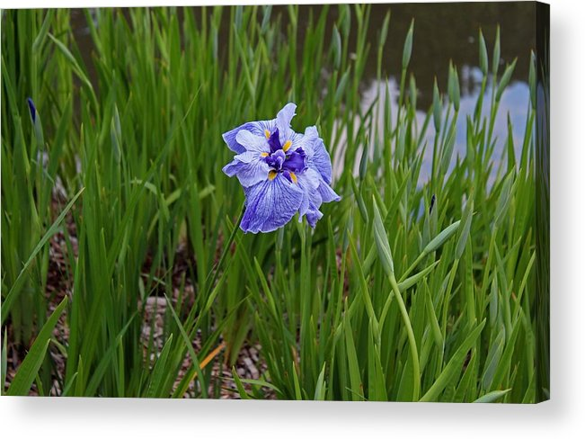 Iris Acrylic Print featuring the photograph Bewildered by Michiale Schneider