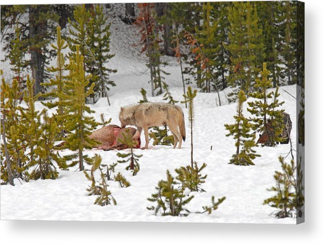 Wolf Acrylic Print featuring the photograph Canyon Wolf On Elk Kill by Dennis Hammer