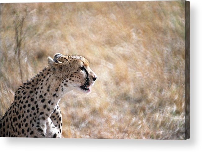Cheetah Acrylic Print featuring the photograph Cheetah by Marcus Best