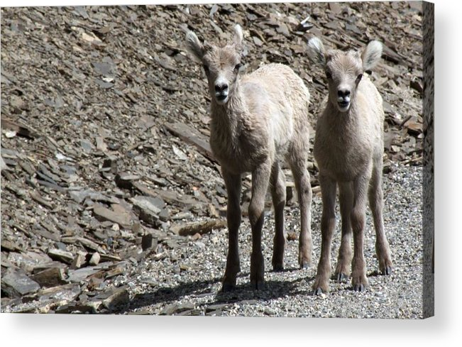 Baby Acrylic Print featuring the photograph Couple Of Cuties- Baby Bighorn by Tiffany Vest