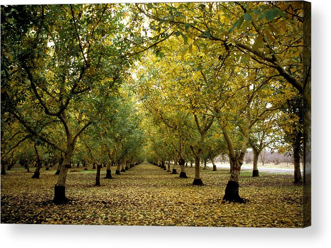 Trees Acrylic Print featuring the photograph Fall Orchard by Kathy Yates
