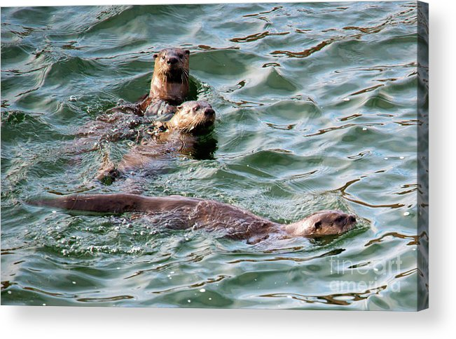 Otters Acrylic Print featuring the photograph Family Play Time by Mike Dawson