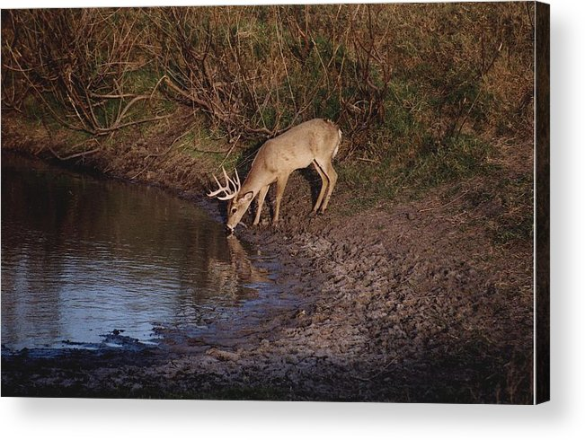 Deer Acrylic Print featuring the photograph Private Ranch 5 by Wendell Baggett