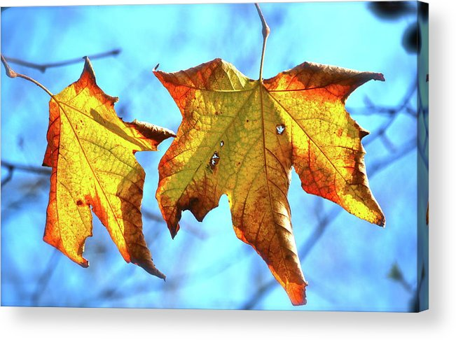 Leaves Acrylic Print featuring the photograph Signs Of Fall by Lori Leigh