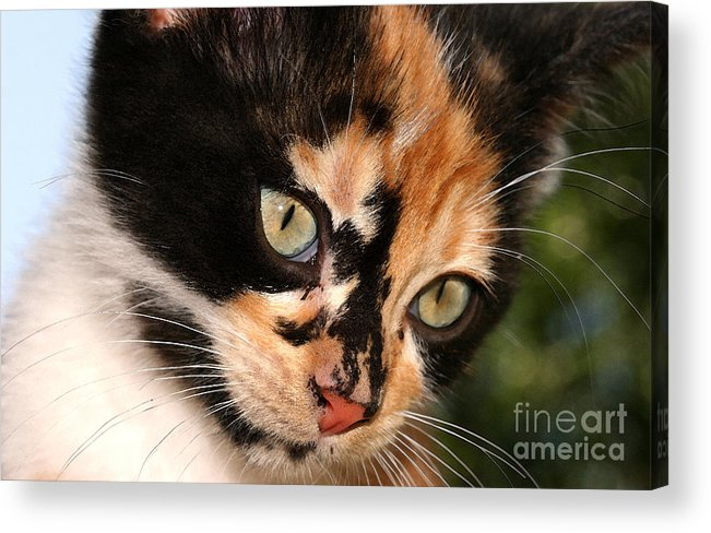 Cat Acrylic Print featuring the photograph Stray Kitten by Steve Augustin
