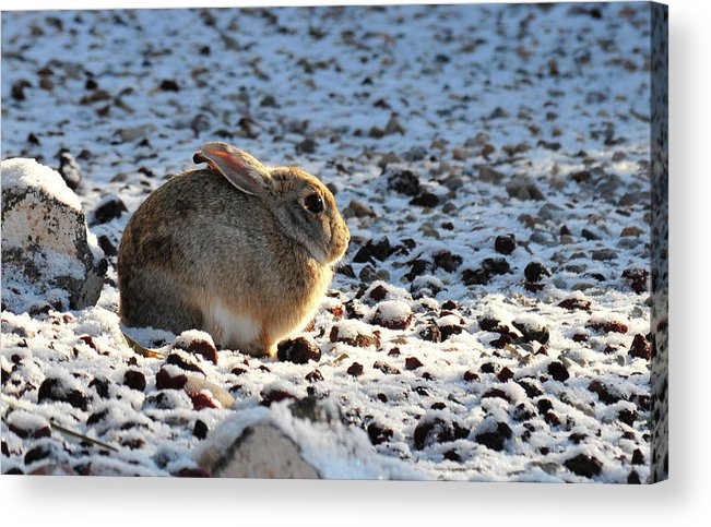 Animal Acrylic Print featuring the photograph Wabbit by David Arment
