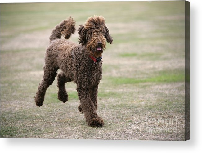 Labradoodle Acrylic Print featuring the photograph Chocolate Labradoodle Running In Field by John Daniels