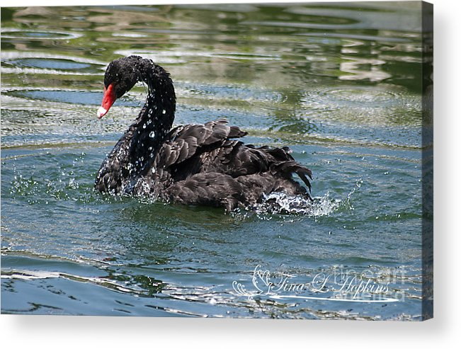 Black Acrylic Print featuring the photograph Black Swan 20120706_121a by Tina Hopkins