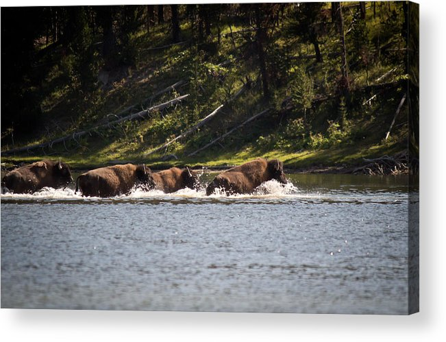 Buffalo Acrylic Print featuring the photograph Buffalo Crossing - Yellowstone National Park - Wyoming by Diane Mintle