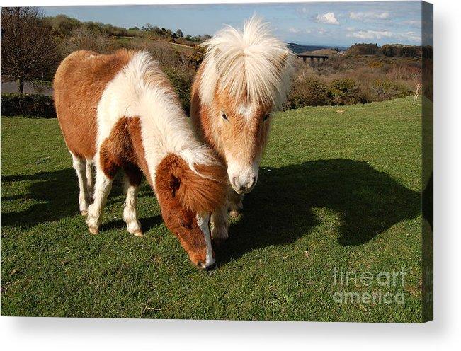 Dartmoor Acrylic Print featuring the photograph Dartmoor Ponies by Rob Hawkins