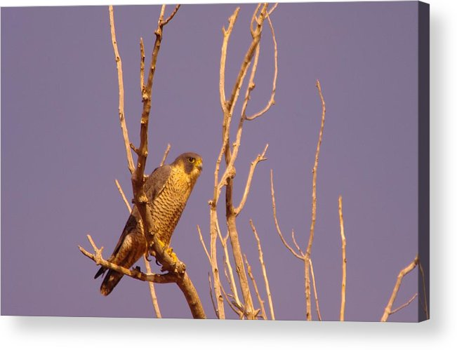 Birds Acrylic Print featuring the photograph Peregrine Falcon by Jeff Swan
