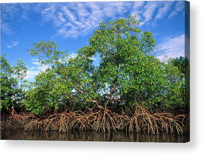 Acanthaceae Acrylic Print featuring the photograph Red Mangrove East Coast Brazil by Pete Oxford