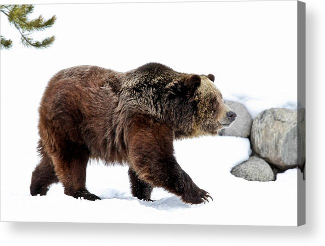Grizzly Acrylic Print featuring the photograph Winter Bear Walk by Athena Mckinzie