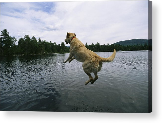 Animals Acrylic Print featuring the photograph A Yellow Labrador Retriever Jumps by Heather Perry