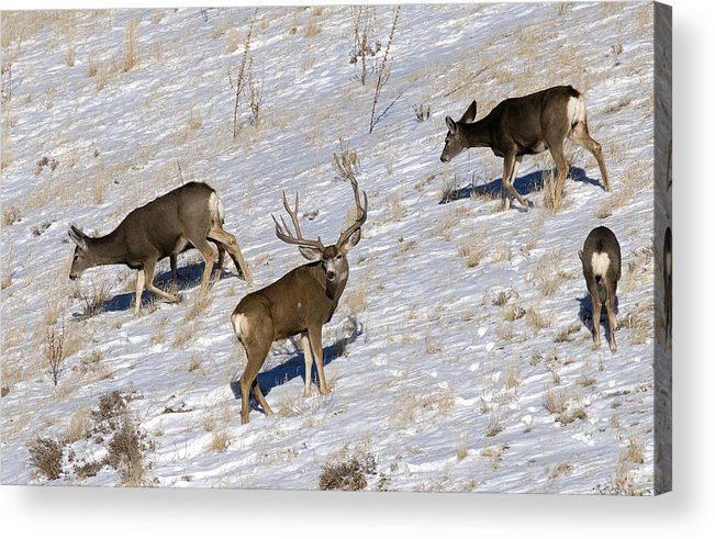 Mule Deer Acrylic Print featuring the photograph Big Mule Deer Buck by Earl Nelson