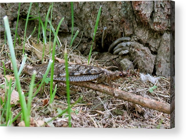 Insect Acrylic Print featuring the photograph Dobsonfly by Azthet Photography
