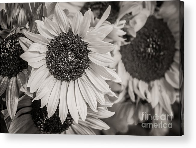 Sunflowers Acrylic Print featuring the photograph Field Of Sunflowers  by Sherry Davis