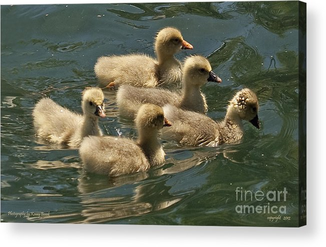Acrylic Print featuring the photograph Five Baby Geese Swimming by Kenny Bosak