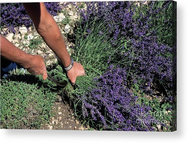 People Acrylic Print featuring the photograph Man Harvesting Lavender Flowers In Field by Sami Sarkis