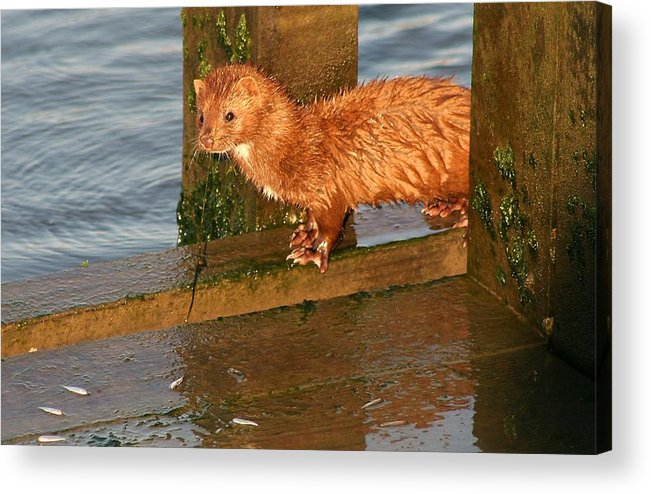 Mink Acrylic Print featuring the photograph Mink Catching Fish by Paulette Thomas
