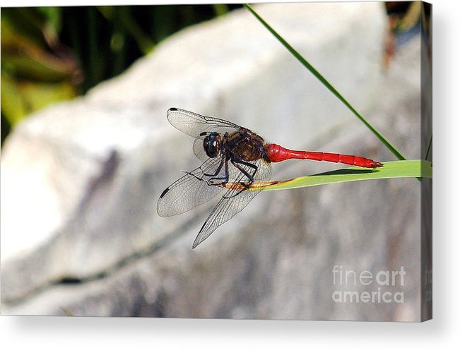 Photography Acrylic Print featuring the photograph Red Dragonfly 2 by Kaye Menner