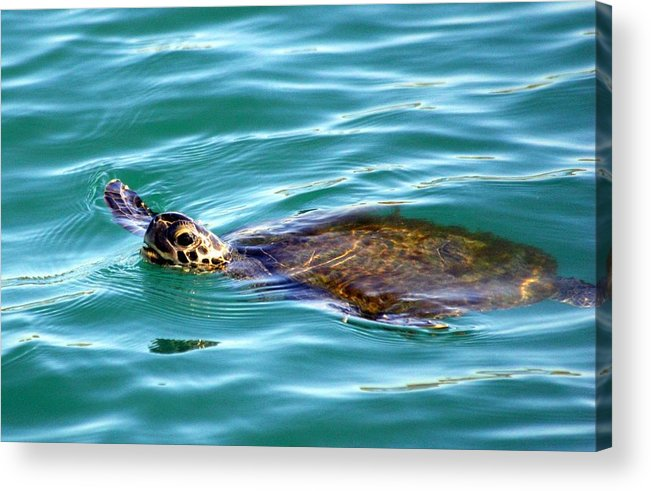 Acrylic Print featuring the photograph Sea Turtle by Jeanne Andrews