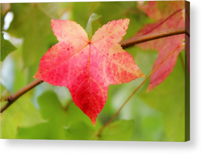 Softly Comes The Fall Acrylic Print featuring the photograph Softly Comes The Fall 2 by Rachel Cohen