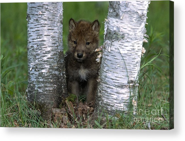 Wolves Acrylic Print featuring the photograph Wolf Pup Playing Peekaboo by Sandra Bronstein
