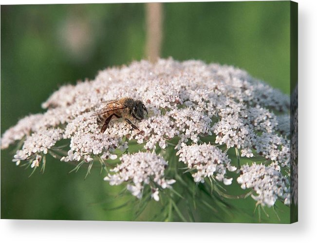 Bee Acrylic Print featuring the photograph 070406-76 by Mike Davis