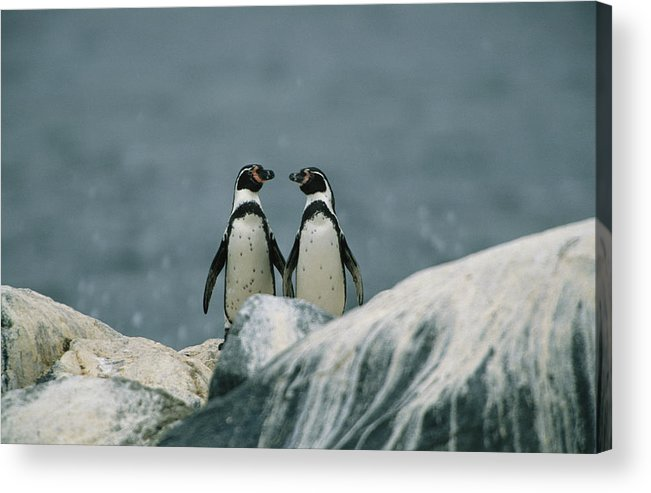 South America Acrylic Print featuring the photograph A Pair Of Humboldt, Or Peruvian by Joel Sartore