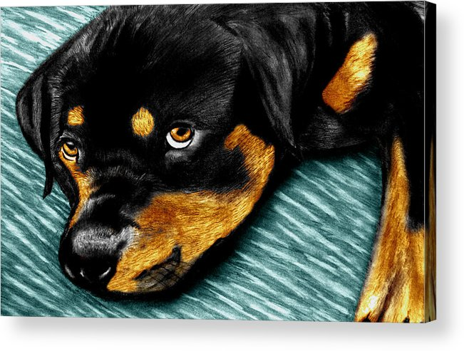 Rot Wilier Acrylic Print featuring the drawing Rotty by Peter Piatt