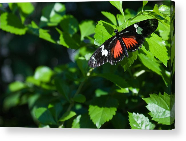 Tropical Acrylic Print featuring the photograph Tropical Butterfly by Douglas Barnett