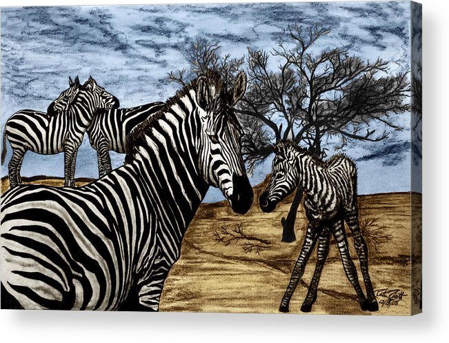 Zebra Outback Acrylic Print featuring the drawing Zebra Outback by Peter Piatt