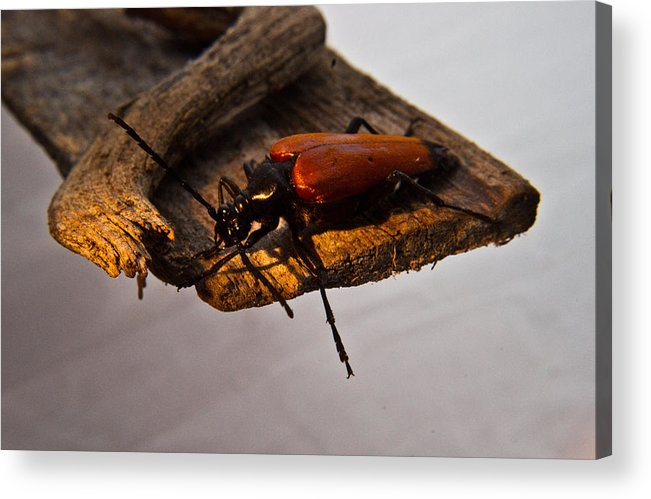 Red Acrylic Print featuring the photograph A Red Glowing Beetle by Douglas Barnett