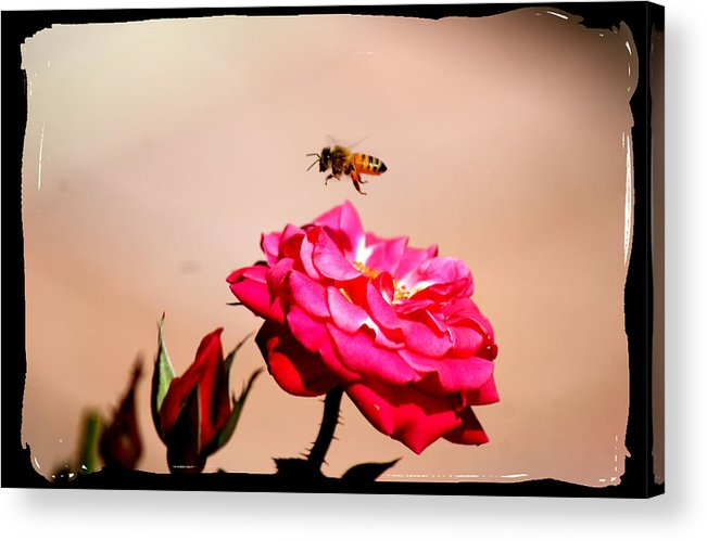 Bee Acrylic Print featuring the photograph Both Beeuties by Ellen Lerner ODonnell
