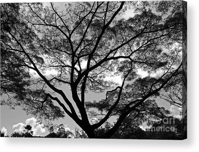 Tree Acrylic Print featuring the photograph Branching Out In Bw by Jennifer Robin