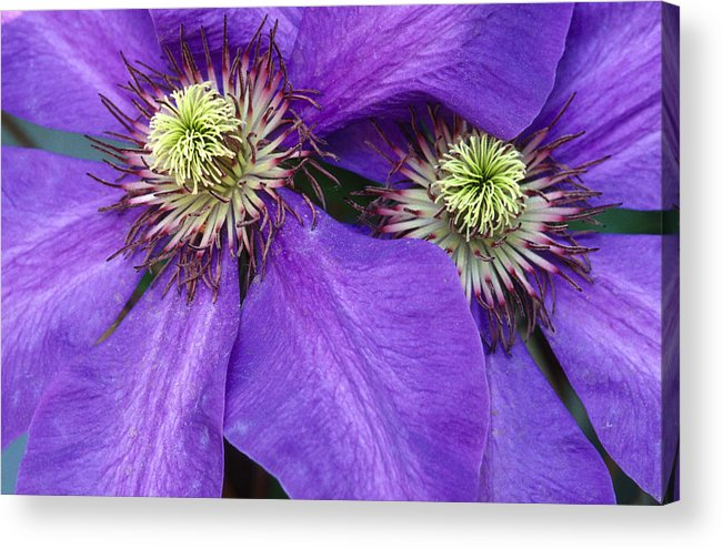 Flowers Acrylic Print featuring the photograph Clematis Detail by Sandra Bronstein