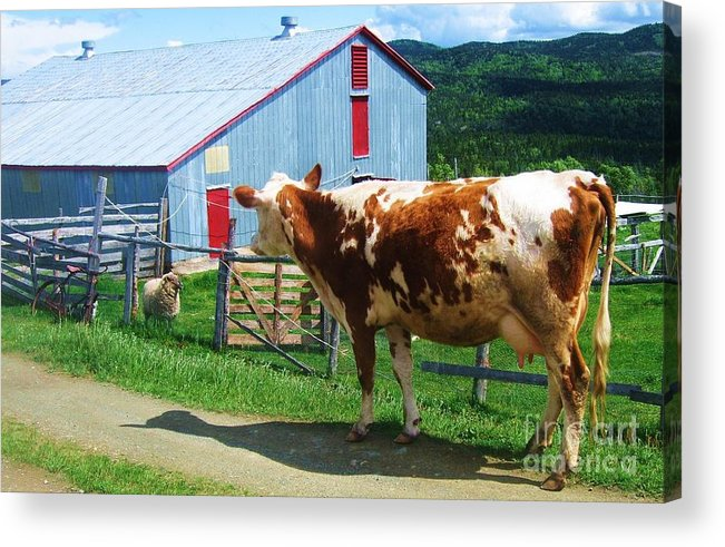 Photograph Cow Sheep Barn Field Newfoundland Acrylic Print featuring the photograph Cow Sheep And Bicycle by Seon-Jeong Kim
