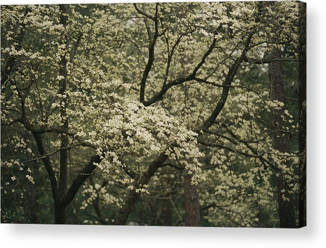 United States Of America Acrylic Print featuring the photograph Delicate White Dogwood Blossoms Cover by Raymond Gehman