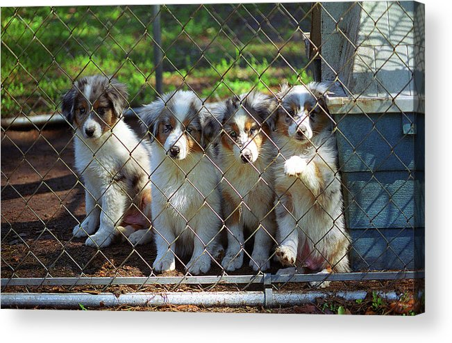 Animals Acrylic Print featuring the photograph Dogs. Let Us Out #2 by Frank Romeo