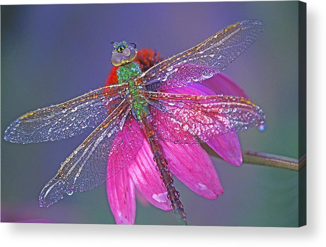 Dew Covered Dragonfly Rests On Purple Cone Flower Acrylic Print featuring the photograph Dreaming Dragon by Bill Morgenstern