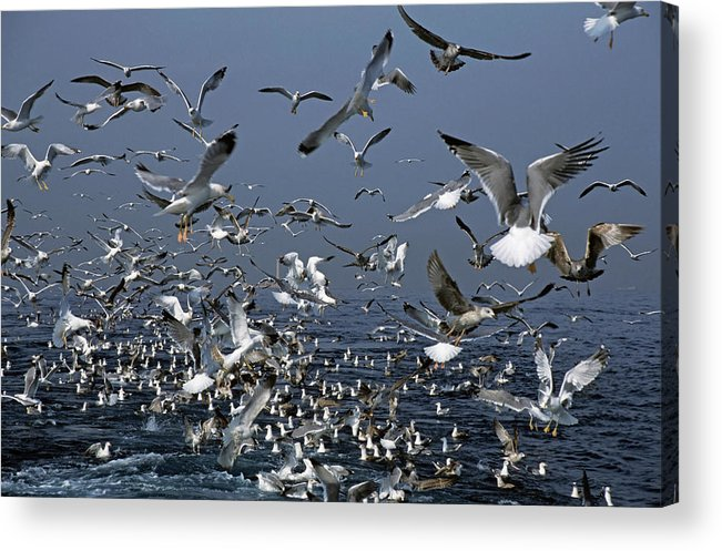 Chaos Acrylic Print featuring the photograph Flock Of Seagulls In The Sea And In Flight by Sami Sarkis