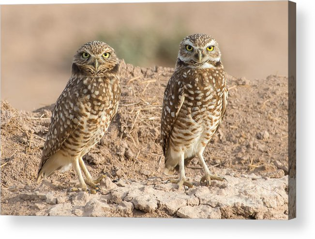 Owl Acrylic Print featuring the photograph Four Eyes by Lisa Manifold