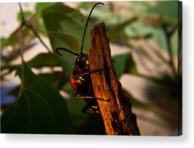 Beetle Acrylic Print featuring the photograph Hanging On For Life by Douglas Barnett