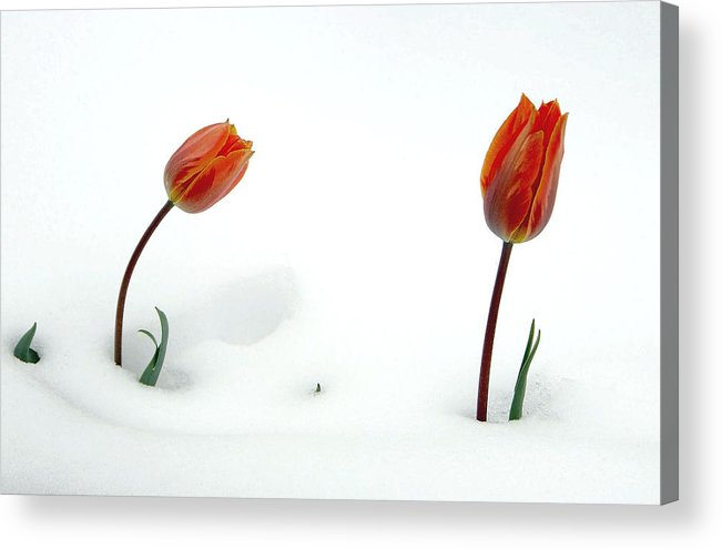 Fine Art Tuilps In The Snow. Fine Art Tuilps Picture. Fine Art Tuilp Cards. Orang Tuilps. Fine Art Canvas. Flowers In The Snow. Spring Snow Storms. Fine Art Tuilp Greeting Cards. Fine Art Tuilp Greeting Card. I Am Sorry Greeting Cards. I Am Sorry Note Cards. Tuilp Picture. Tuilp Canvas Prints. Mixed Media Photography.mixed Media. Mixed Media Photography. Mixed Media Tulip Photography. Mixed Media Flower Photography. Mixed Media Flowers. Acrylic Print featuring the photograph I Am Sorry by James Steele