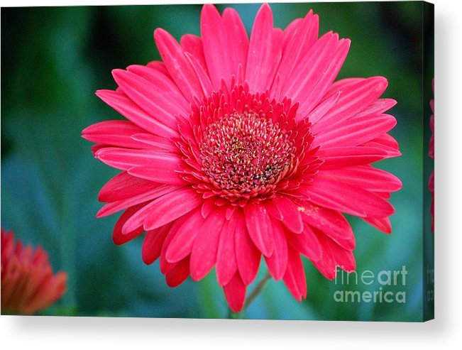 Gerber Daisy Acrylic Print featuring the photograph In The Pink by Debbi Granruth