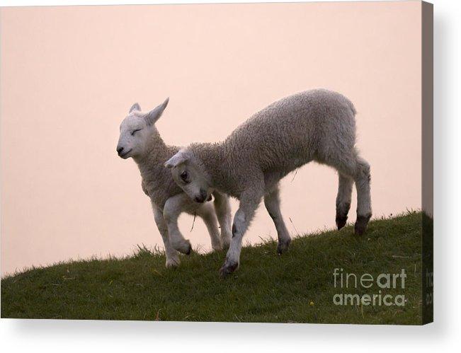 Prancing Lamb Acrylic Print featuring the photograph Little Lambs by Angel Ciesniarska