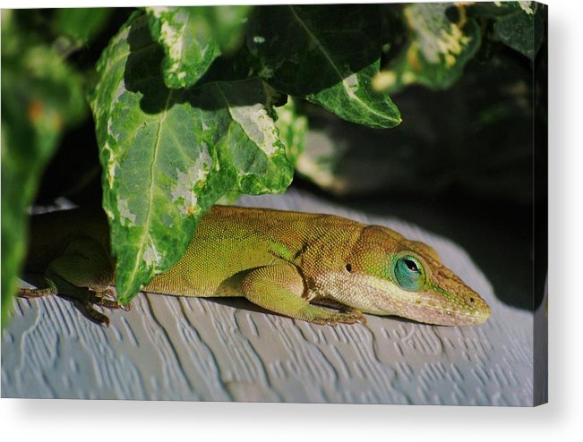 Anole Acrylic Print featuring the photograph Lizzy Loves The Sun by Trudi Southerland