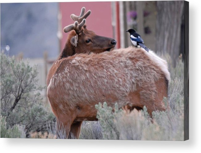 Elk Acrylic Print featuring the photograph More To The Right by Dennis Hammer