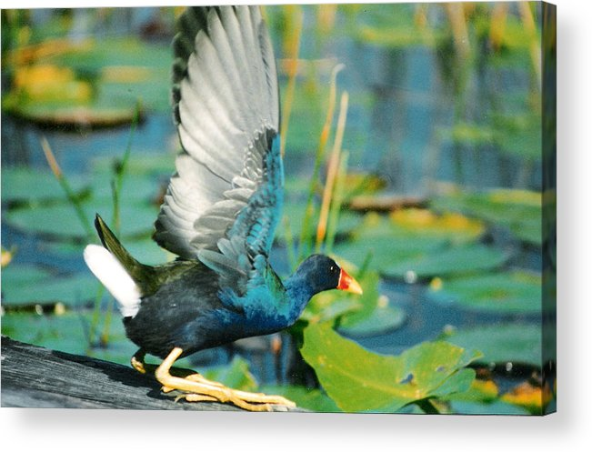 Birds Acrylic Print featuring the photograph Purple Gallinule by Cindy Gregg